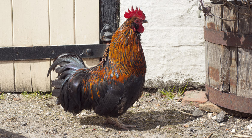 Black and orange rooster