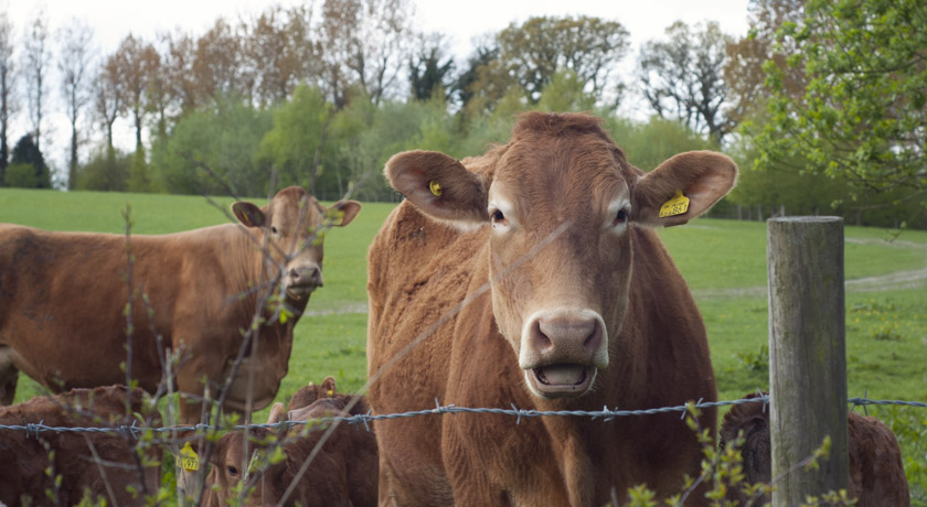 Brown cow in a field at Mill Farm