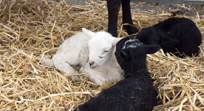 Black and white lambs in hay