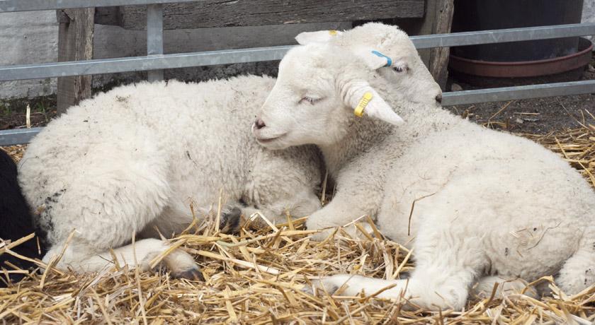 Two lambs sleeping at Mill Farm