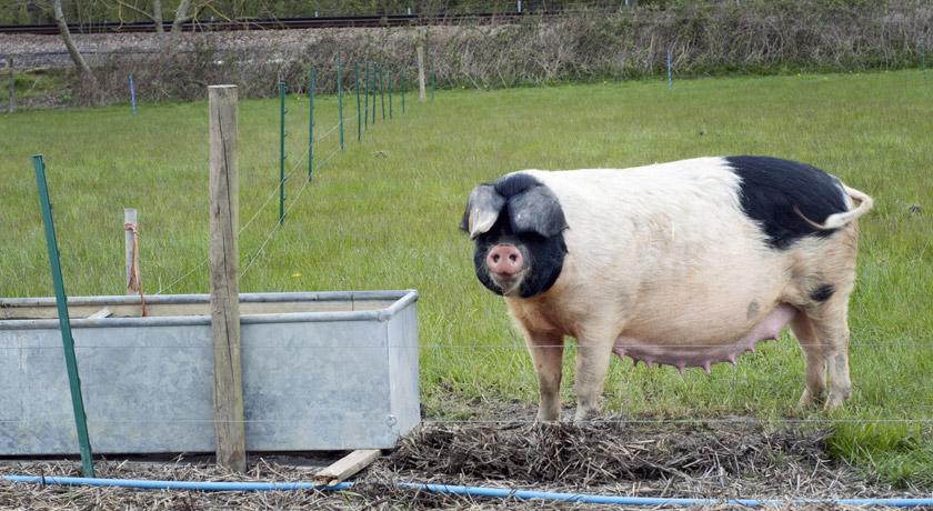 Spotty pig at Mill Farm