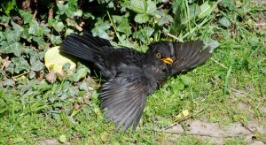 Blackbird laying in the sun with wings out