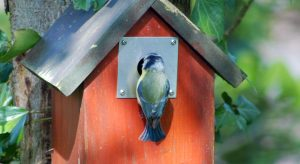 Blue tit on bird house