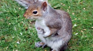 Grey squirrel holding nuts