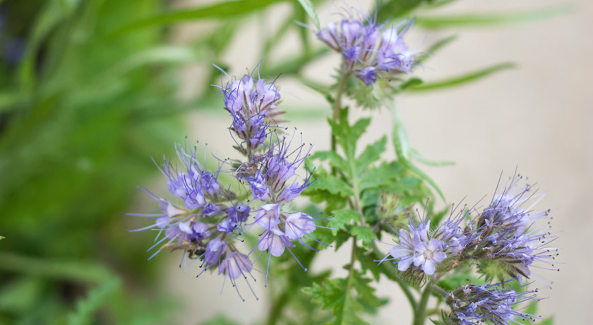Purple Phacelia flowers