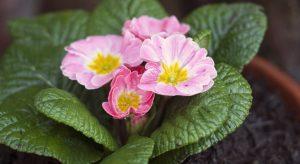 Pink primrose flowers