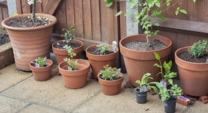 Rows of terracotta plant pots