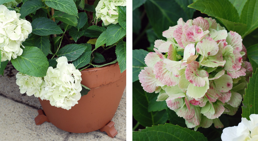 Hydrangea on terracotta pot