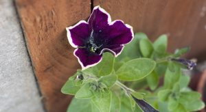 Purple and cream Petunia