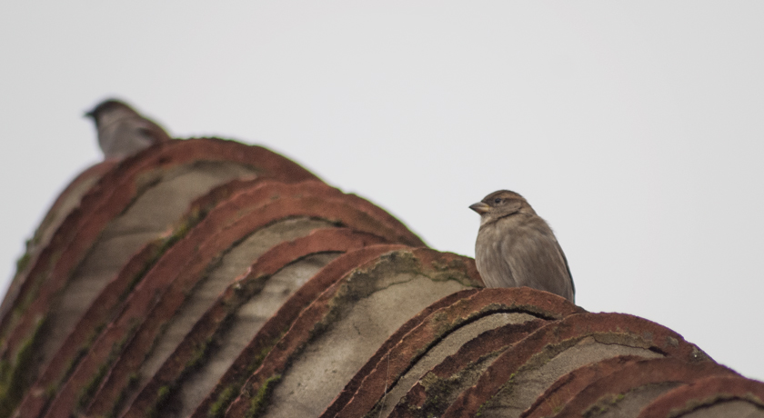 House sparrow sitting on a roof