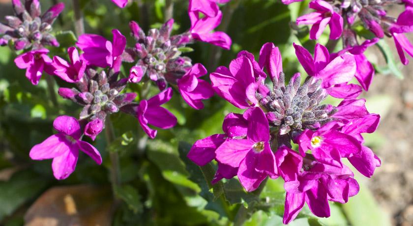 Pink Arabis flowers