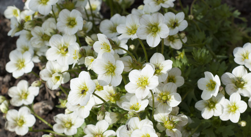 White and green Saxifraga flowers