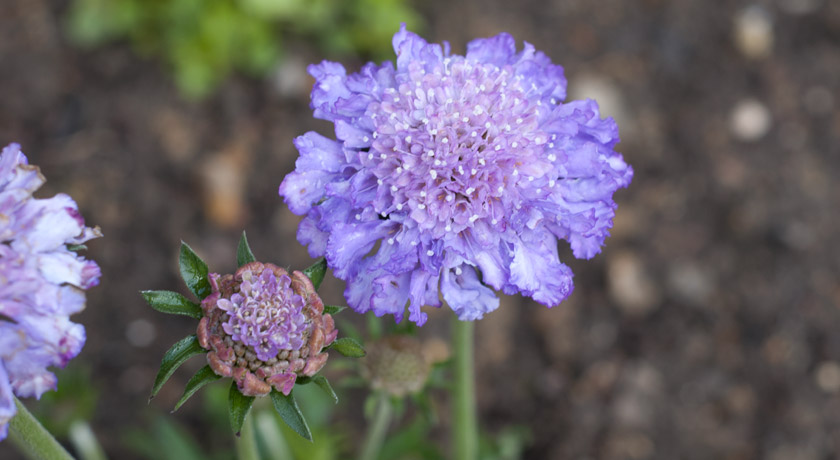 Lilac Scabious flower