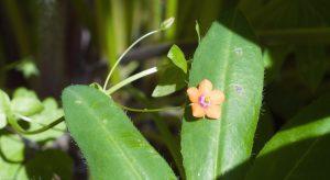 Orange Scarlet Pimpernel flower