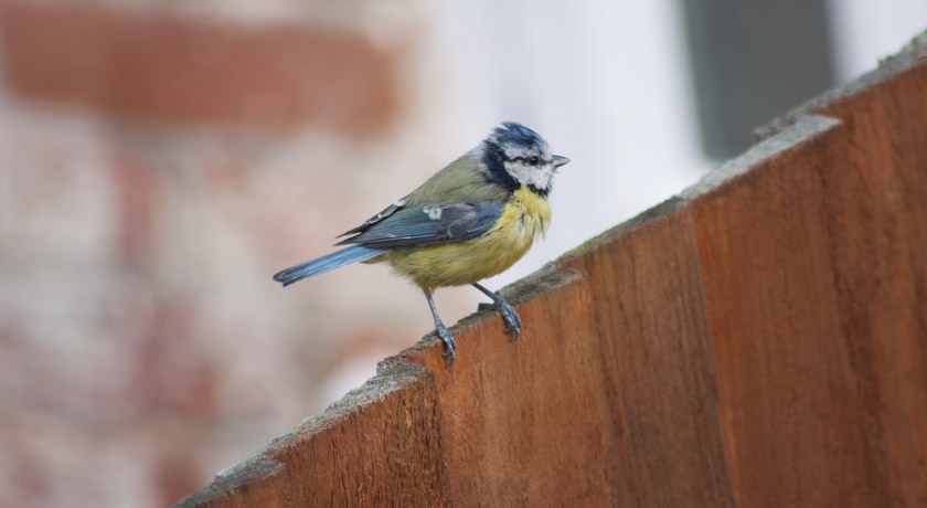Scruffy Blue tit on a garden fence