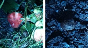 Strawberry plant and snails in torch light