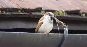 House sparrow with twigs in his mouth