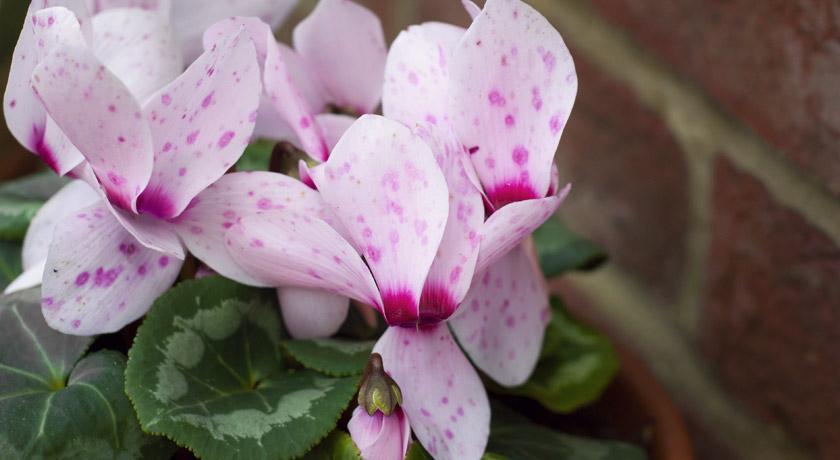 Pink spots on cyclamen petals