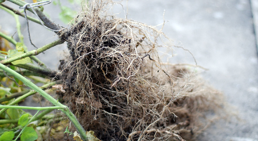 Tangled tomato roots