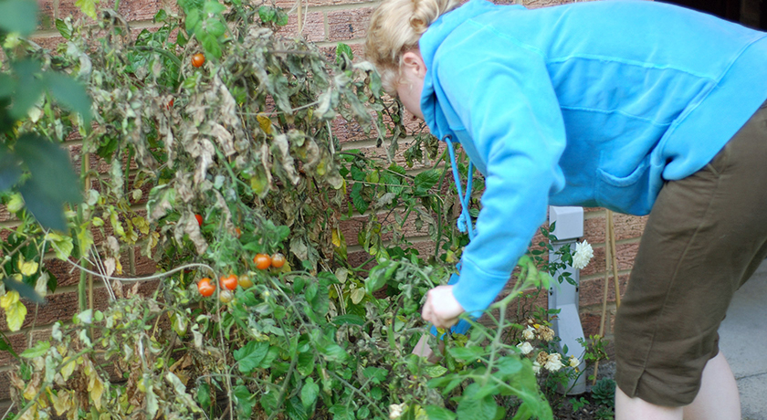 Pulling up tomato plants