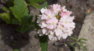Verbana Coral flowers