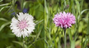 Pink and white wild flowers