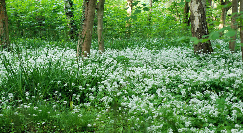 Wild garlic patch