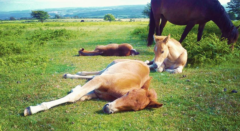 Wild horses resting on Bodmin Moor