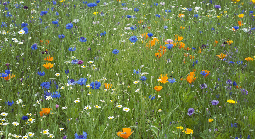 Wildflower meadow with cornflowers and poppies
