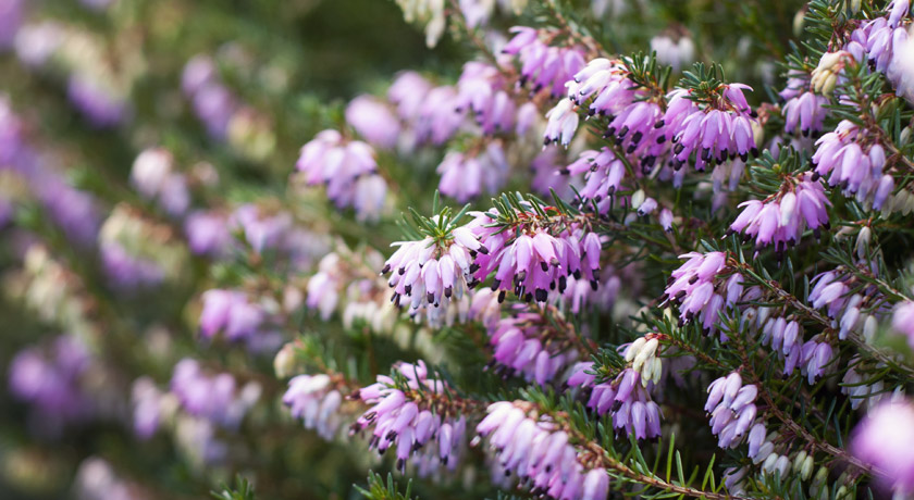 Pink Winter flowering heather
