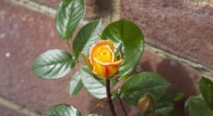 Yellow Laura Ford rose bud