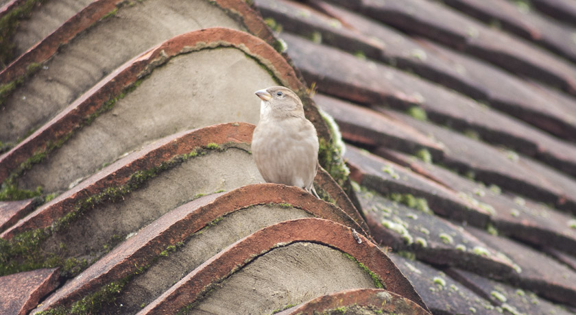 Young house sparrow on roof