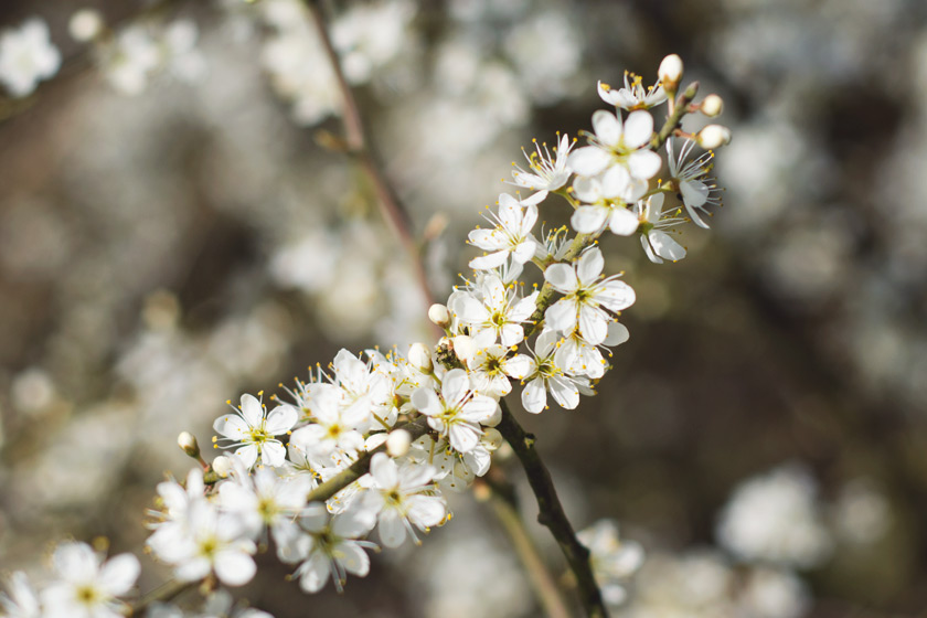 Small white blossom flowers