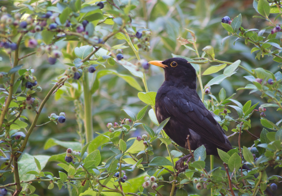 Blackbird stealing blueberries