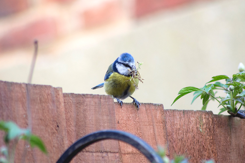 Bluetit on fence with nesting materials