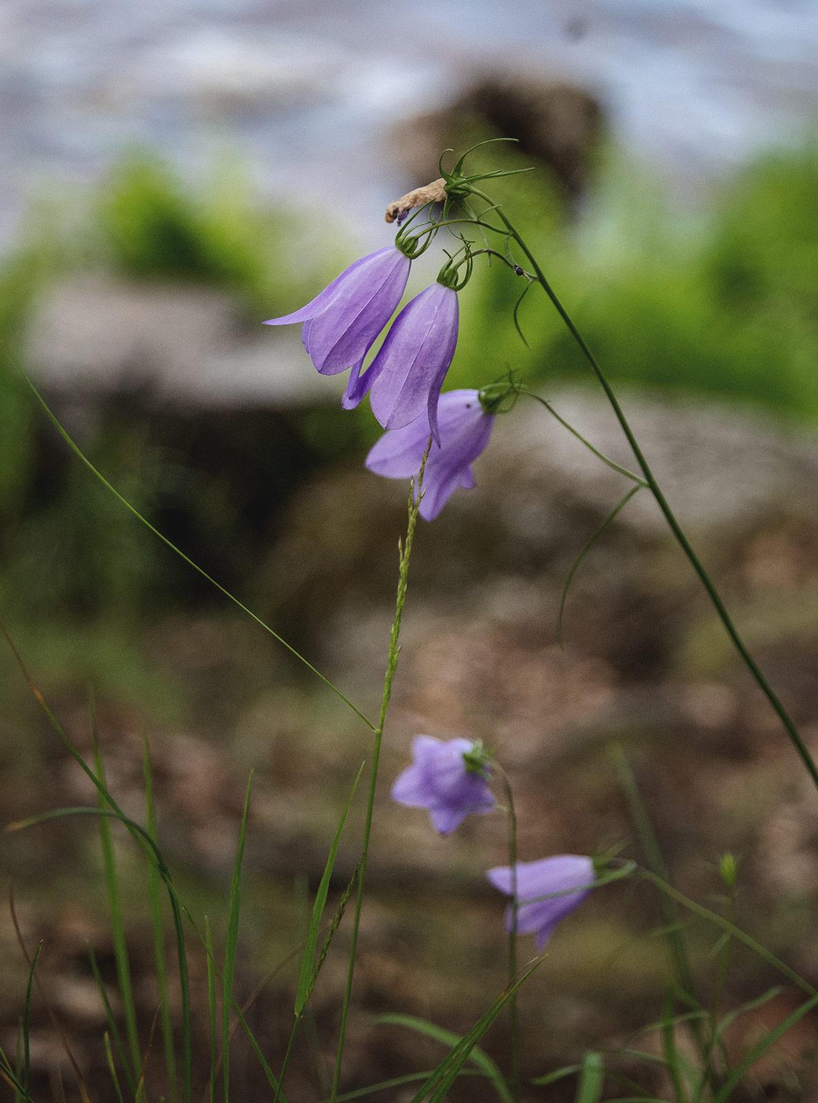 Purple bell shaped flowers
