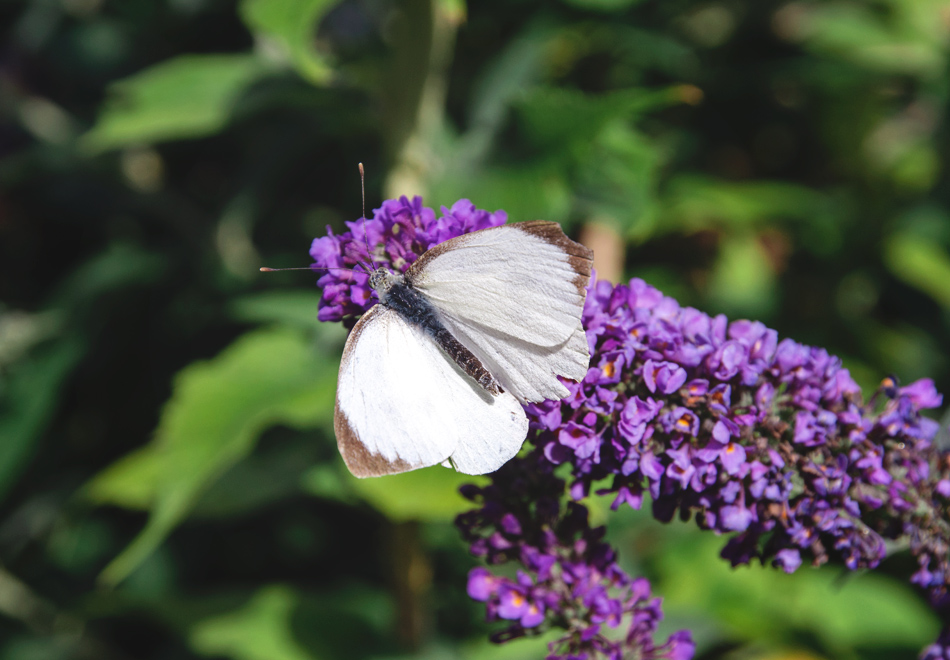White butterfly with brown tipped wings