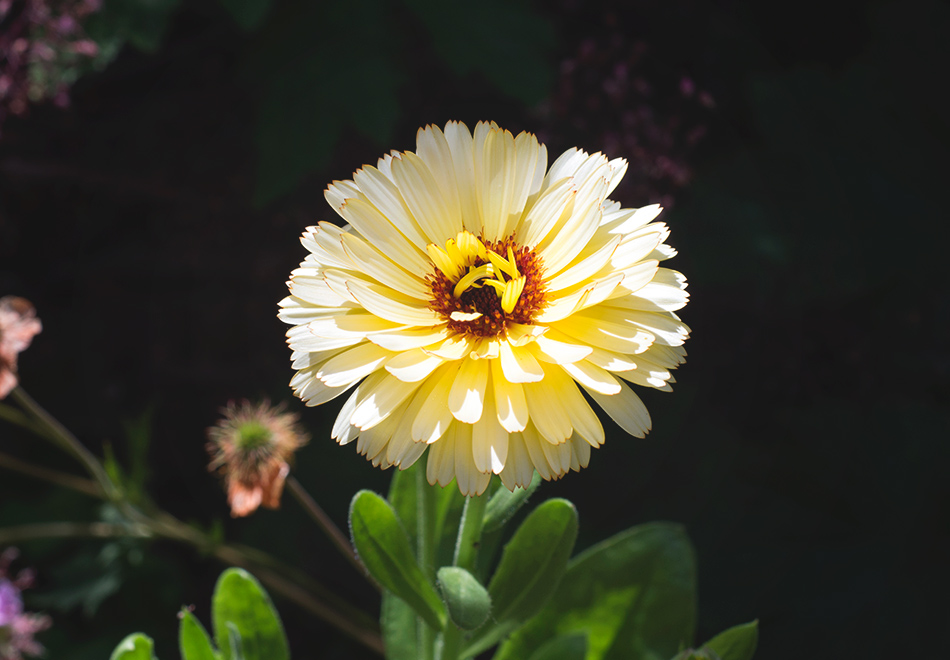 Calendula flower in the sun