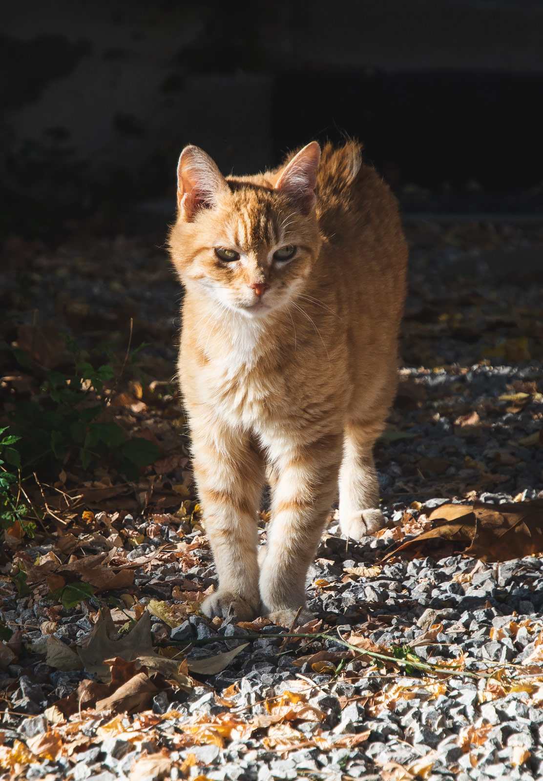 Ginger cat in the sun