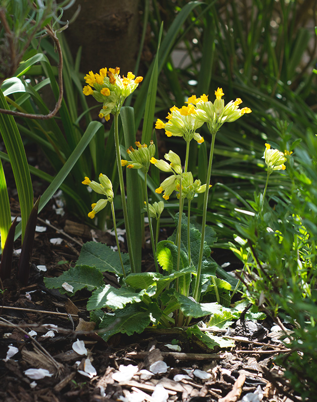 Clump of cowslip