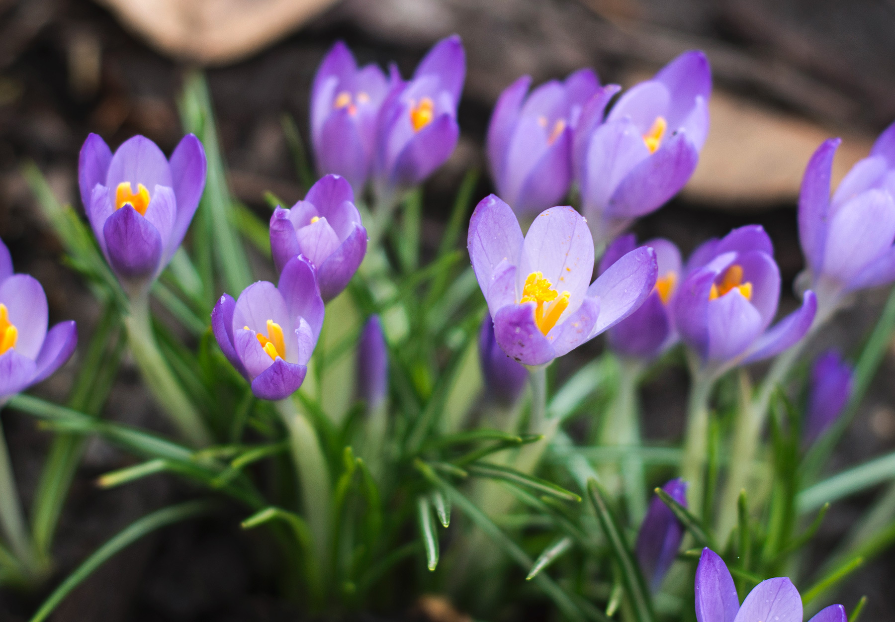 Clump of purple crocus