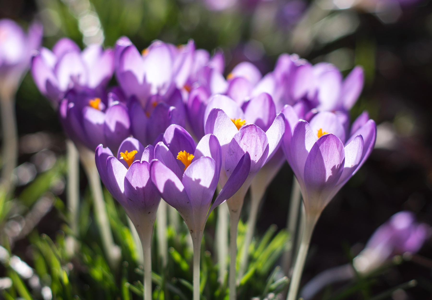 Sunlight on petals