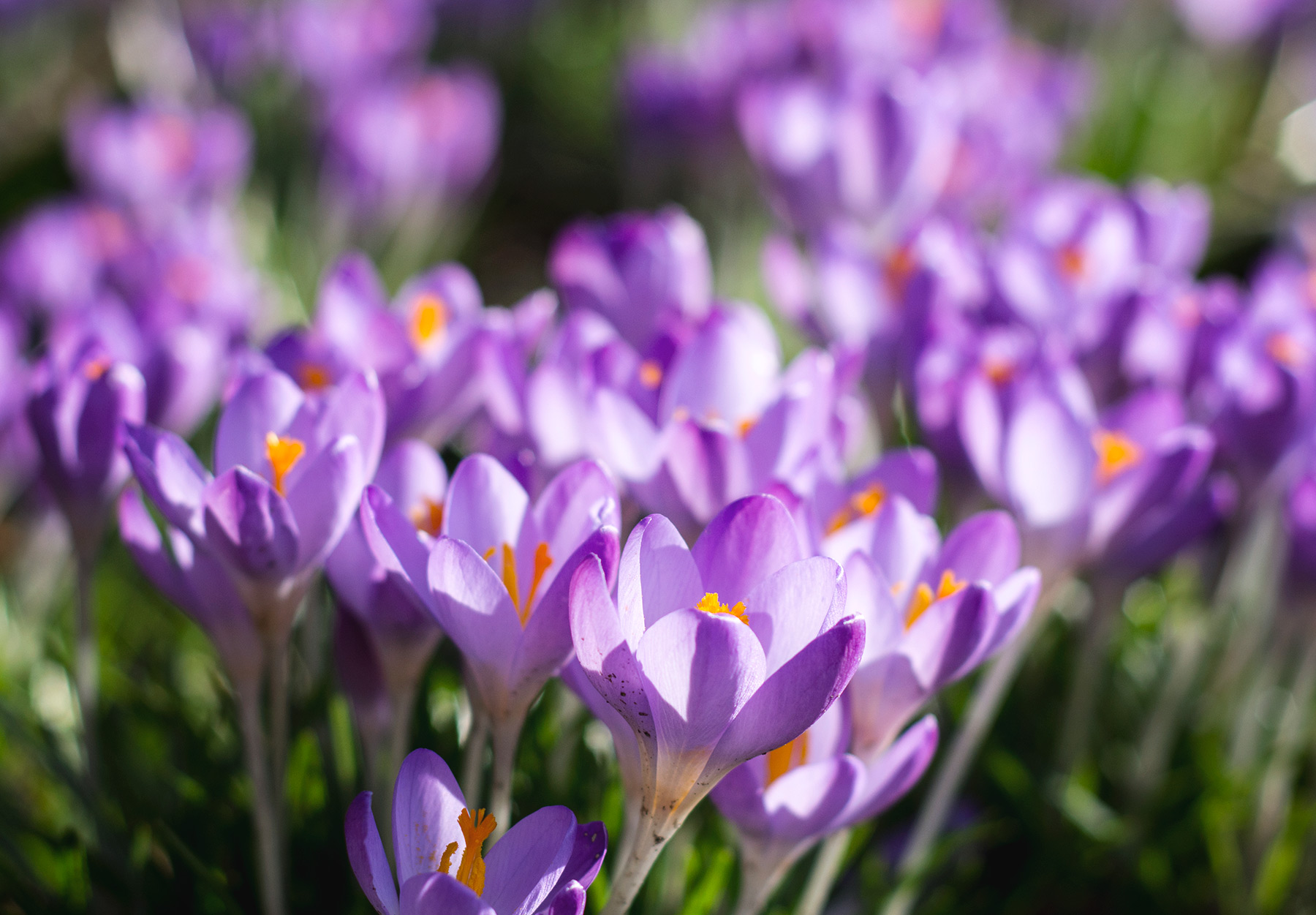 Closeup of crocus