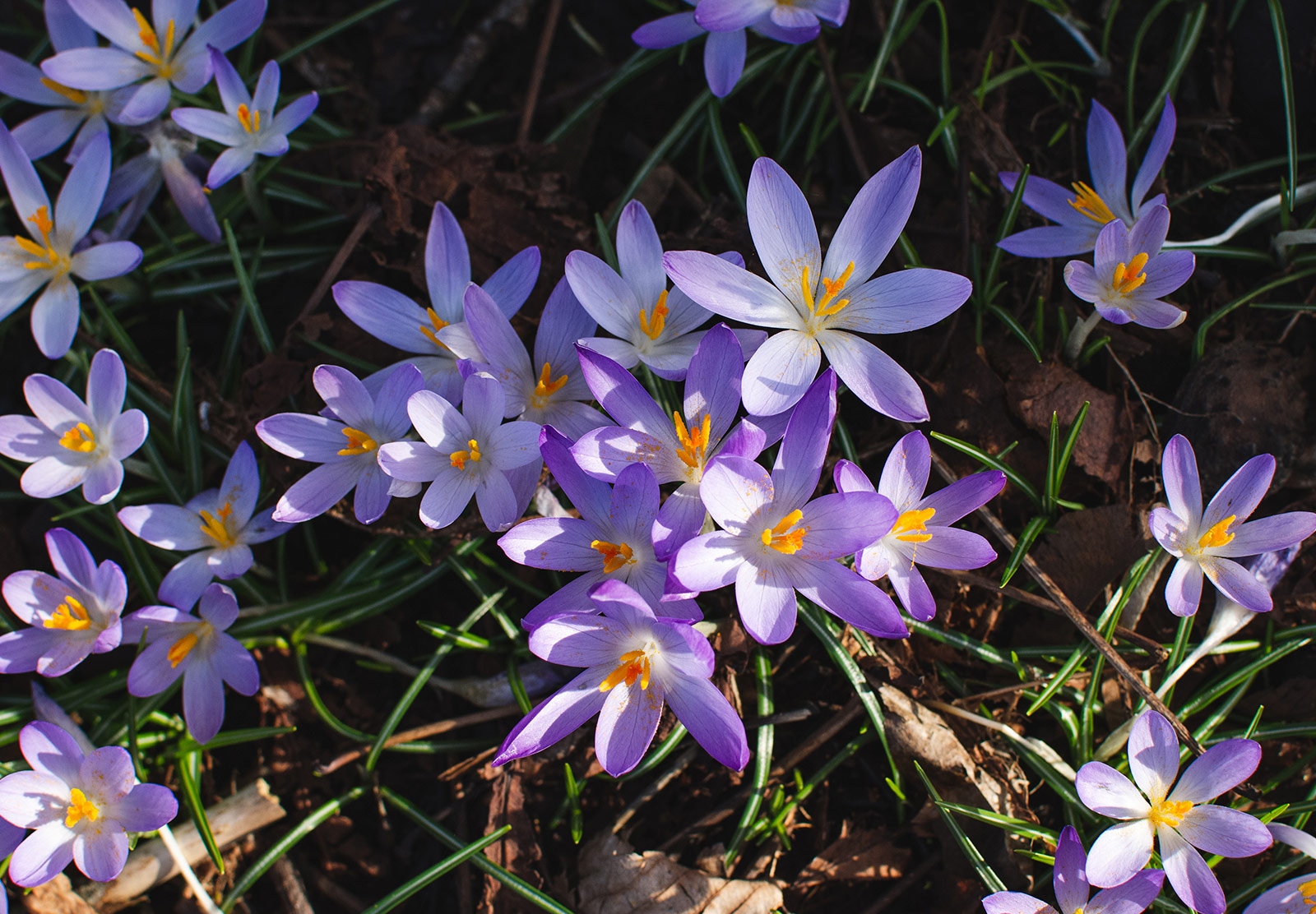 Cluster of crocus