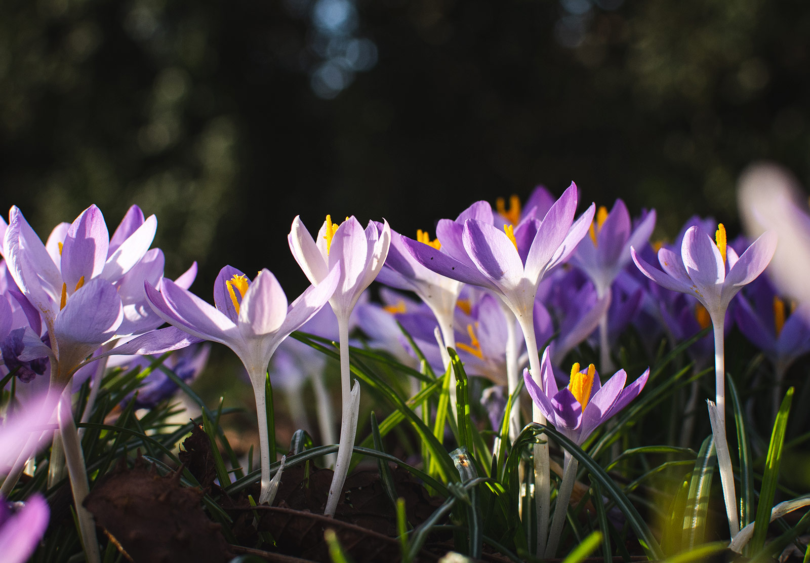 Sun on crocus