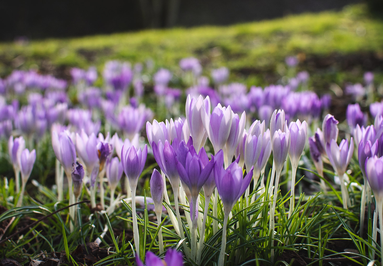 Cluster of closed crocus