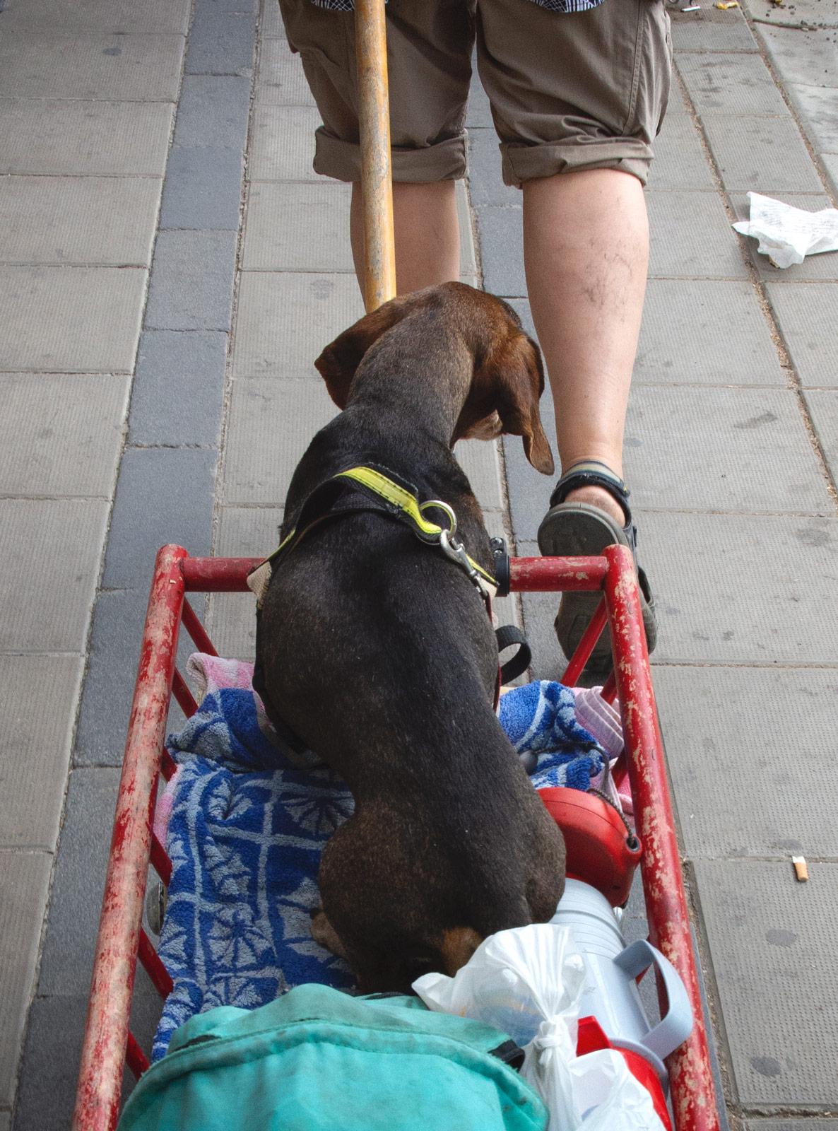 Dachshund in a cart