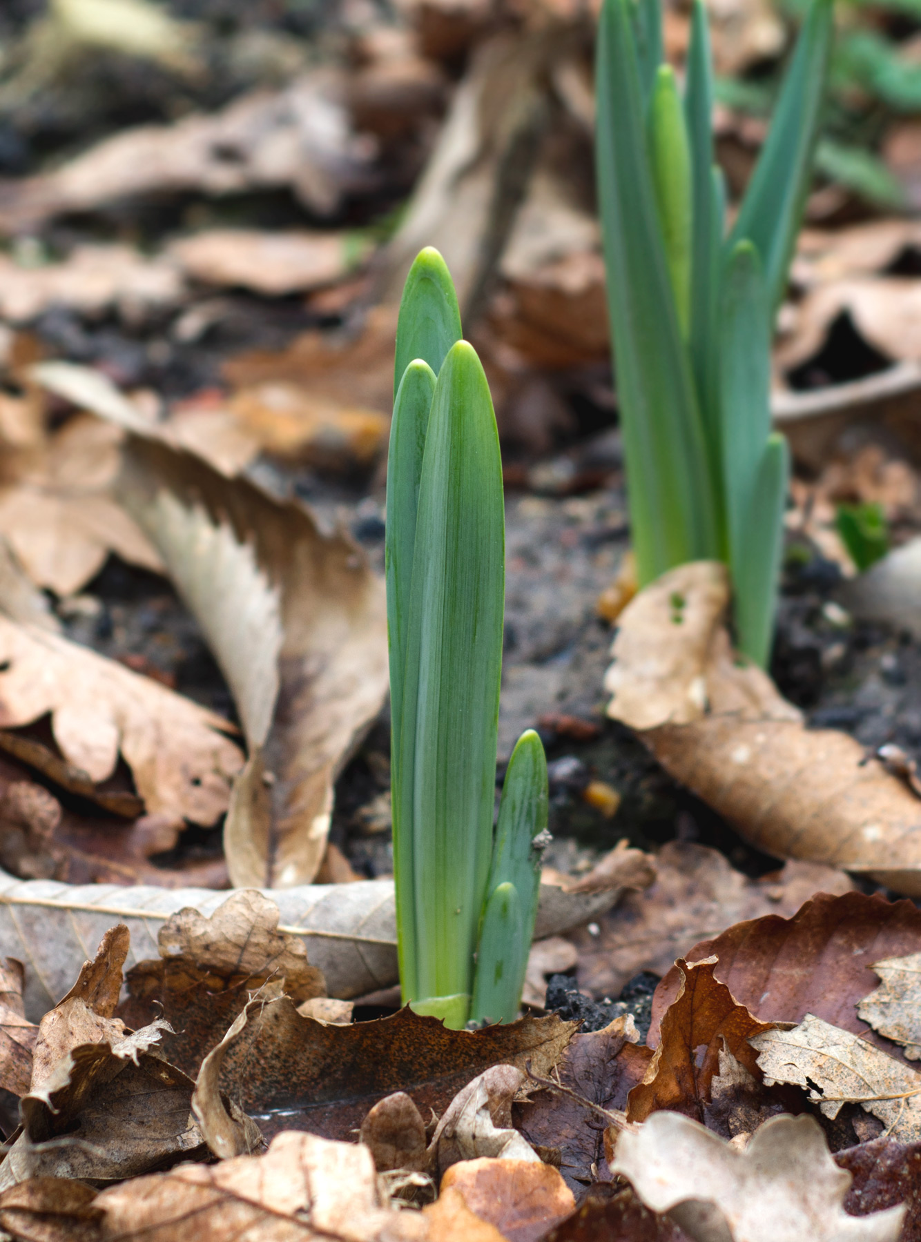 Green shoots in brown leaves
