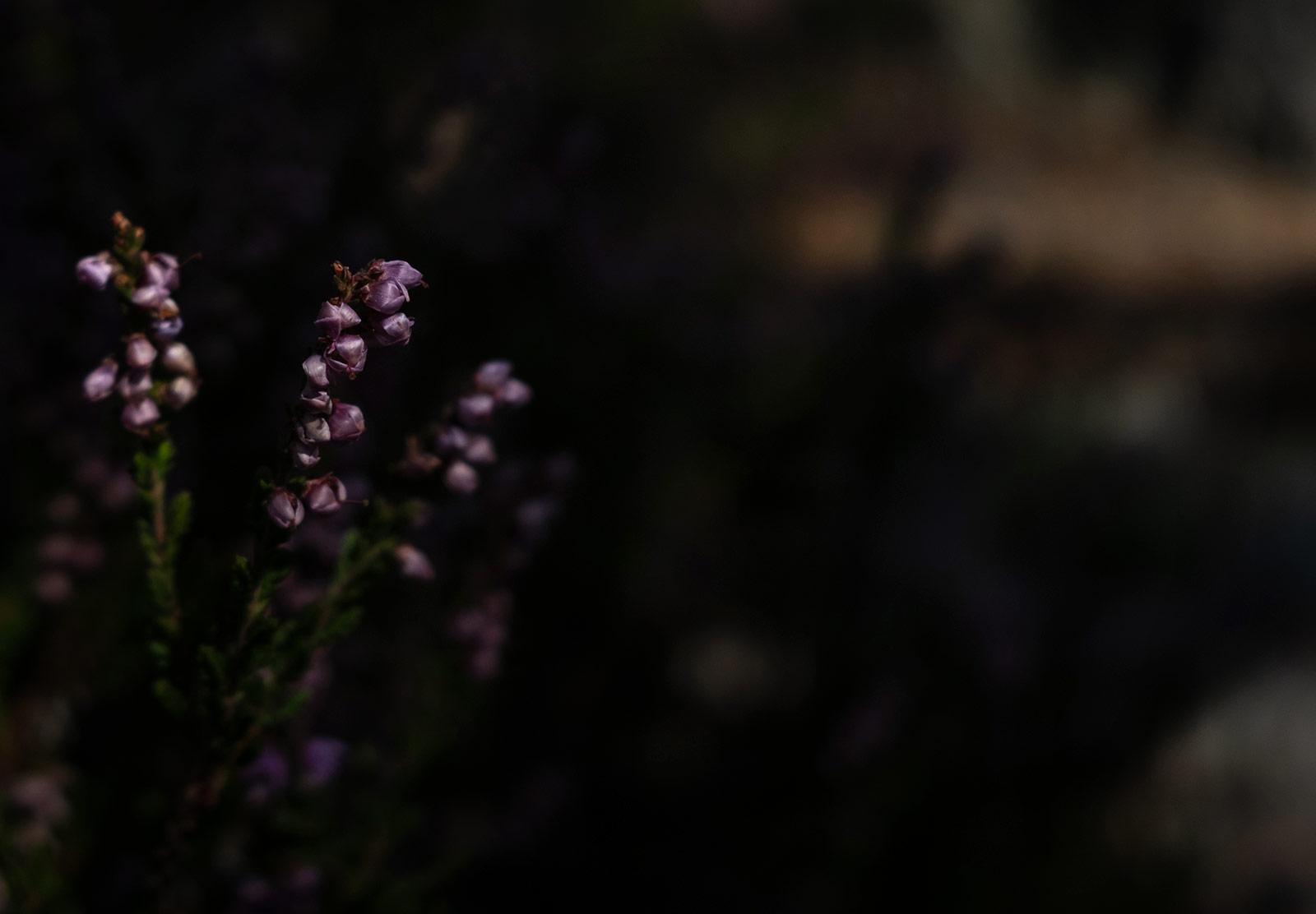 Heather in dark forest