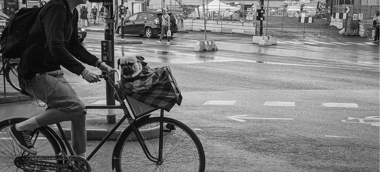 Pug in a bike basket